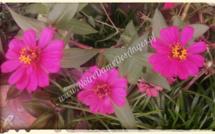 La vie en rose au jardin